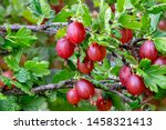 Fresh Gooseberry On A Branch Of ...