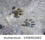 A Pair Of Wet Racoon Footprint...