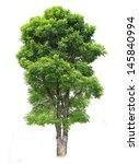 Dipterocarpus Alatus Roxb Tree...