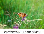 Painted Ladies Butterfly On...