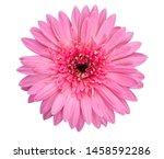 Closeup Single Pink Gerbera...
