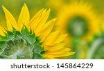 Macro Of Sunflower On Green...