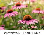 Small Group Of Echinacea...