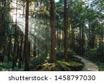 Small photo of Japanese Cedar trees in the forest with through sunlight ray in Alishan National Forest Recreation Area in Chiayi County, Alishan Township, Taiwan.