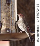 Red House Finch Perched On Bird ...