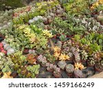 the plant of cactaceae... | Shutterstock . vector #1459166249