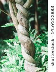 intertwined tree trunk in the... | Shutterstock . vector #1459222883
