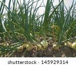 Onion Field With A Blue Sky As...