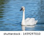 Trumpeter Swan Swimming On A...