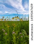 Blooming Yellow Pinnate Prairie ...