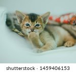 Stock photo abyssinian cat portrait of one domestic of abyssinian kitty breed with yellow eyes and red short 1459406153