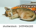 Stock photo abyssinian cat portrait of one domestic of abyssinian kitty breed with yellow eyes and red short 1459406183
