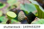 Lotus Seed Background  Nature...