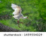 White African Spoonbill ...