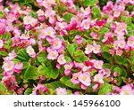 Pink Wax Begonia Or Fibrous...