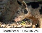 Australian Feral Pig Rooting U...