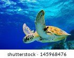 Stock photo green sea turtle swimming in caribbean 145968476