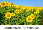 A Beautiful Sunflower Field