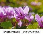 Purple Cyclamen Flowers On...