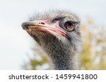 Ostrich Close Up Portrait ...