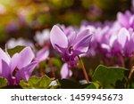 Purple Cyclamen Flowers In...