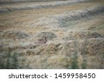Stock photo blurred hare lepus europaeus lack of focus compounds the fear this hare is experiencing as it 1459958450