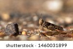 Small photo of Pallid winged grasshopper, Trimerotropis pallidipennis, a locust like insect known as a pest. Close up detail of a native Sonoran Desert species. Pima County, Tucson, Arizona, USA. Summer of 2019.