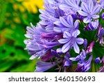 Agapanthus Praecox Blue Flowers ...