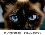 Siamese Cat Close Up With Blue...