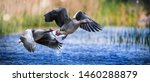 Wild Graylag Goose Fly Over...