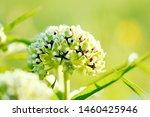 Antelope Horns Milkweed Plant ...