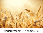 Field Of Dry Golden Wheat....