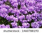Phlox Paniculata 'blue Paradise'...