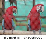 Macaws Are Known As The Giants...
