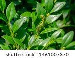 Close Up Of Box Tree Moth...