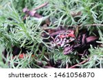A colourful yet poisonous Leopard toad youngster shelters from the rain in a forest of green herbs in a garden in Hout Bay, Cape Town, South Africa in the middle of a cold winter
