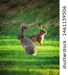Stock photo hares on field in sunshine 1461159506