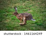 Stock photo hares running on field in sweden 1461164249