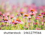 A Field Of Echinacea Flower On...