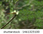 Stock photo flying adder dragonfly or odonata dragonfly sitting on a branch 1461325100