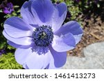 Blue Anemone In Garden Close Up