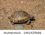 Stock photo a wild tortoise roaming freely in central turkey spur thighed tortoise testudo graeca in the 1461429686