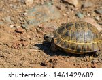 Stock photo a wild tortoise roaming freely in central turkey spur thighed tortoise testudo graeca in the 1461429689
