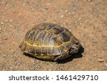 Stock photo a wild tortoise roaming freely in central turkey spur thighed tortoise testudo graeca in the 1461429710