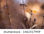 Stock photo closeup of a golden coloured dragonfly on a death plants beautiful golden coloured dragonfly 1461517949
