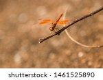 Stock photo closeup of a common dragonfly on a vary small plants stem beautiful dragonfly on a plants stem 1461525890