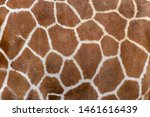 Closeup Of Live Giraffe Skin Fur