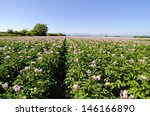 Potato Flowers Blooming In The...