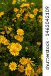 yellow flower of dahlberg daisy ... | Shutterstock . vector #1462042109