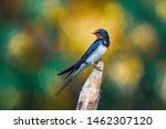 Barn Swallow  Hirundo Rustica...